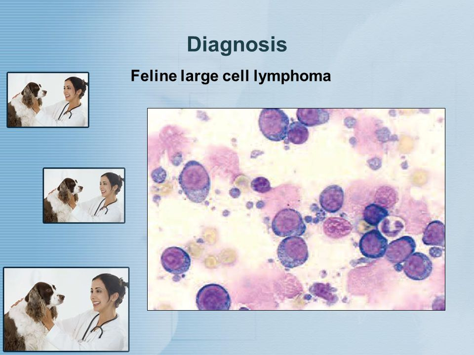 Diagnosis Feline large cell lymphoma