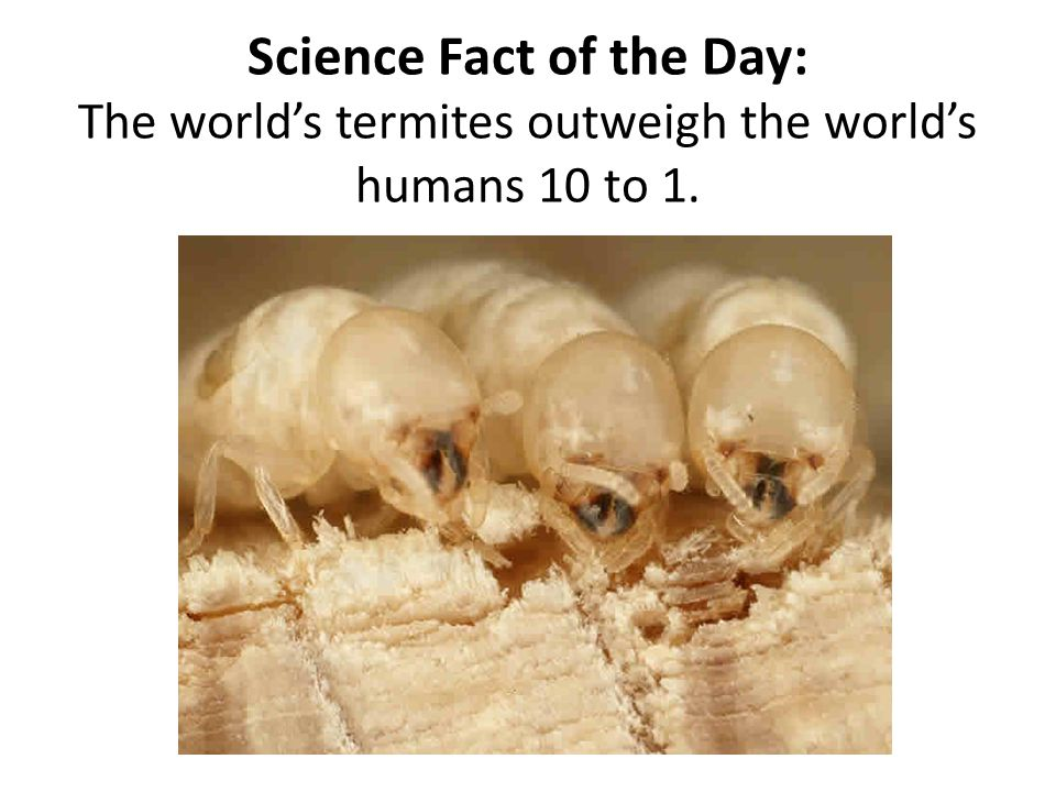 Science Fact of the Day: The world's termites outweigh the world's humans 10 to 1.