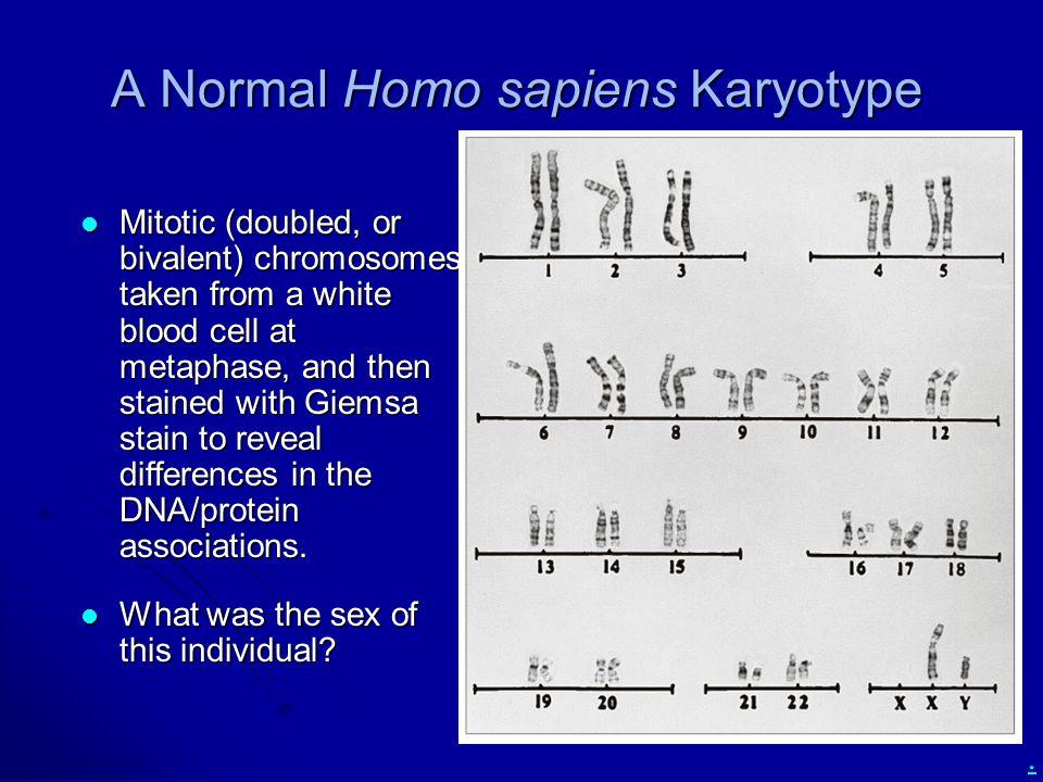 A Normal Homo sapiens Karyotype