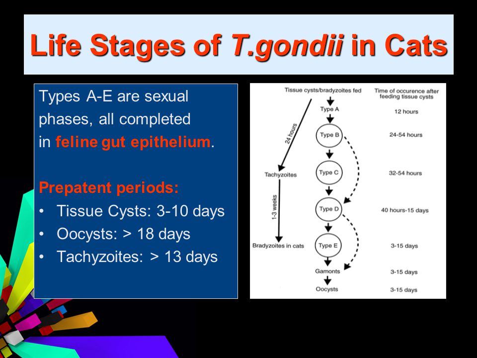 Life Stages of T.gondii in Cats