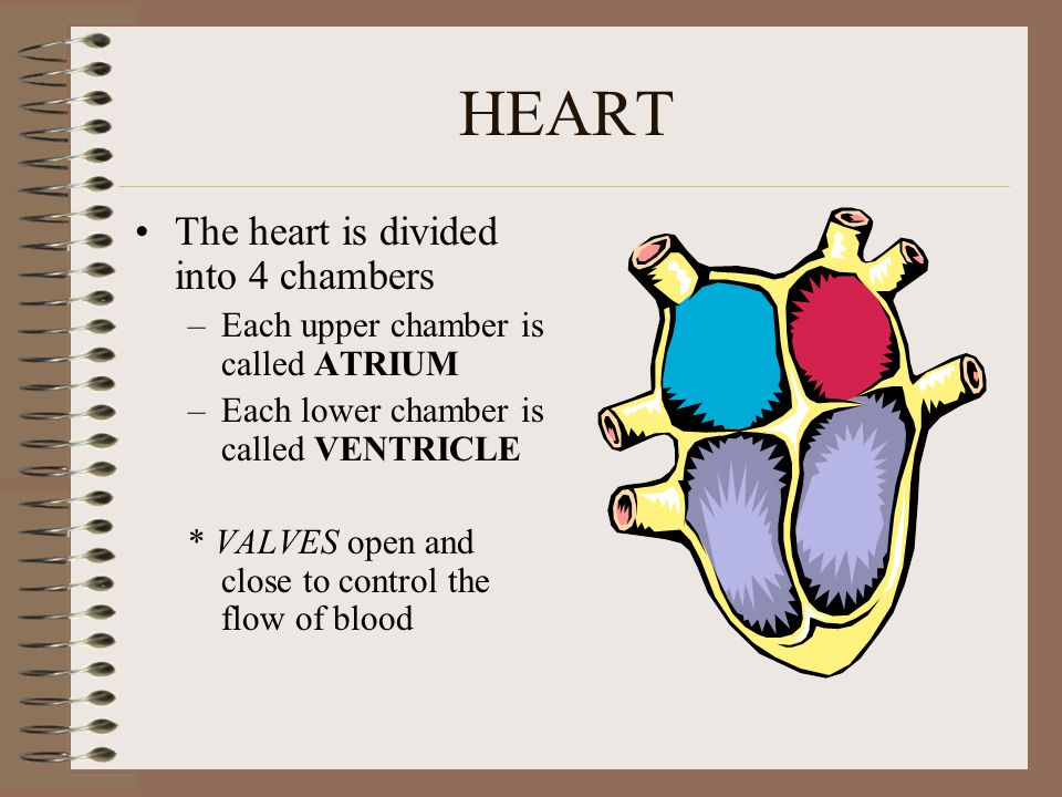 HEART The heart is divided into 4 chambers