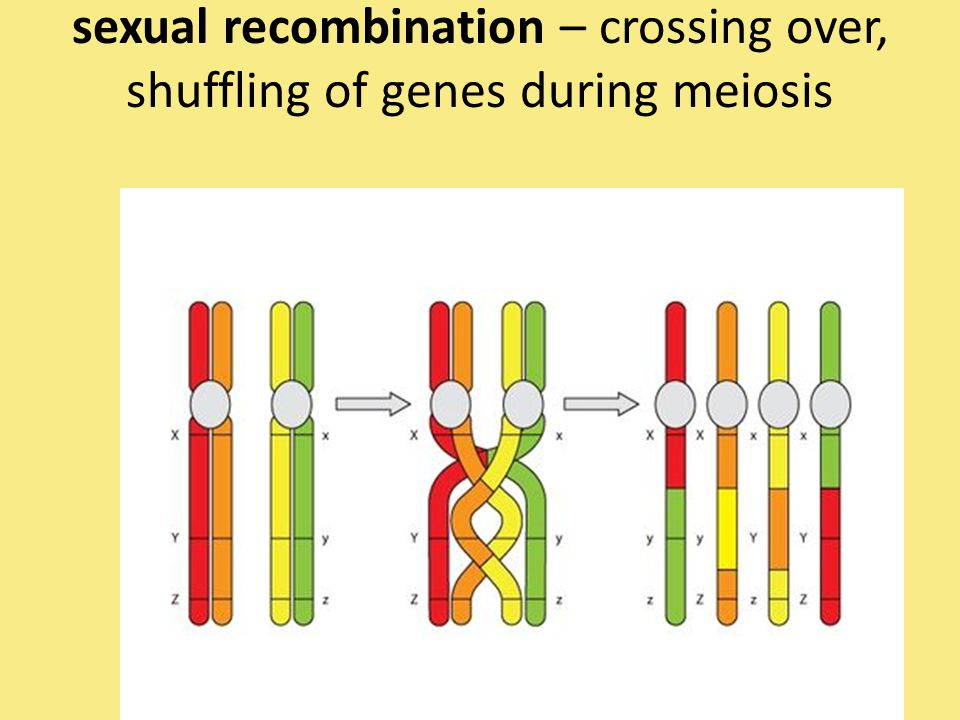 sexual recombination – crossing over, shuffling of genes during meiosis