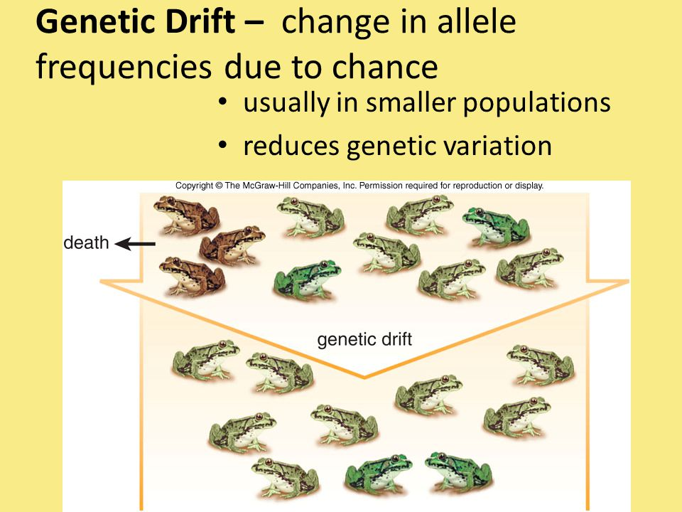 Genetic Drift – change in allele frequencies due to chance