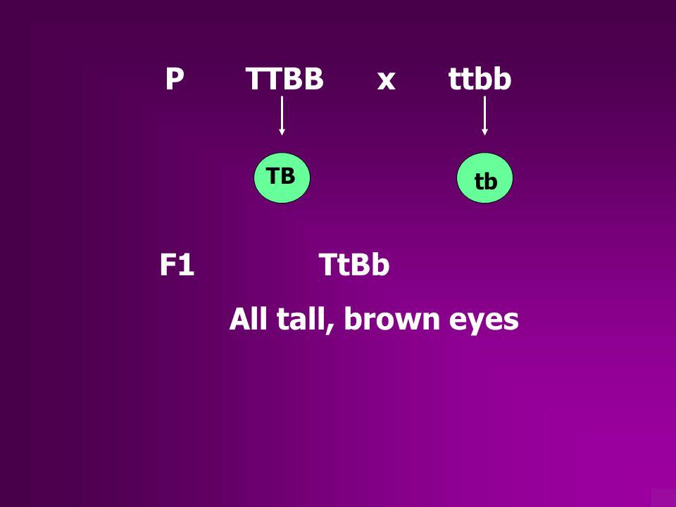 P TTBB x ttbb TB tb F1 TtBb All tall, brown eyes