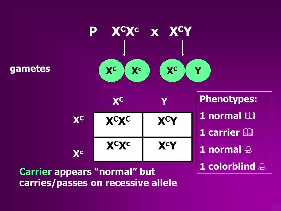 P XCXc x XCY XCXC XCY XCXc XcY gametes XC Xc XC Y Phenotypes: