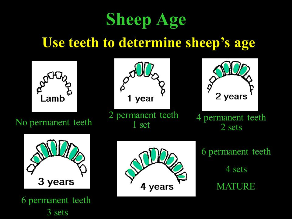 Use teeth to determine sheep's age