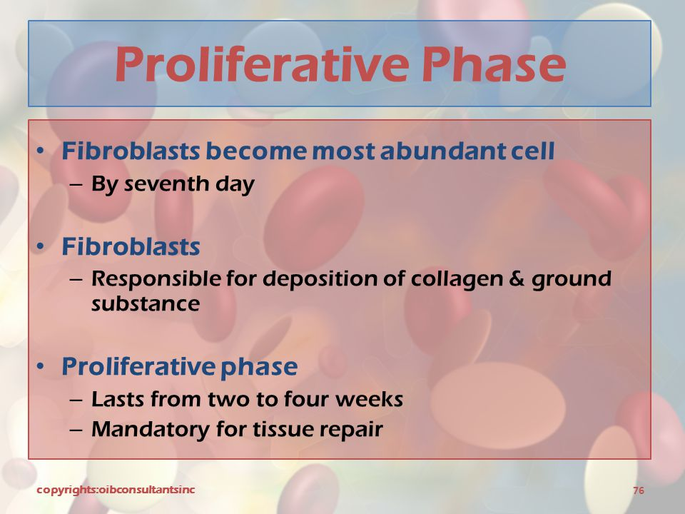 Proliferative Phase Fibroblasts become most abundant cell Fibroblasts