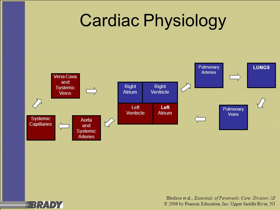 Cardiac Physiology LUNGS Vena Cava and Systemic Veins Right Atrium