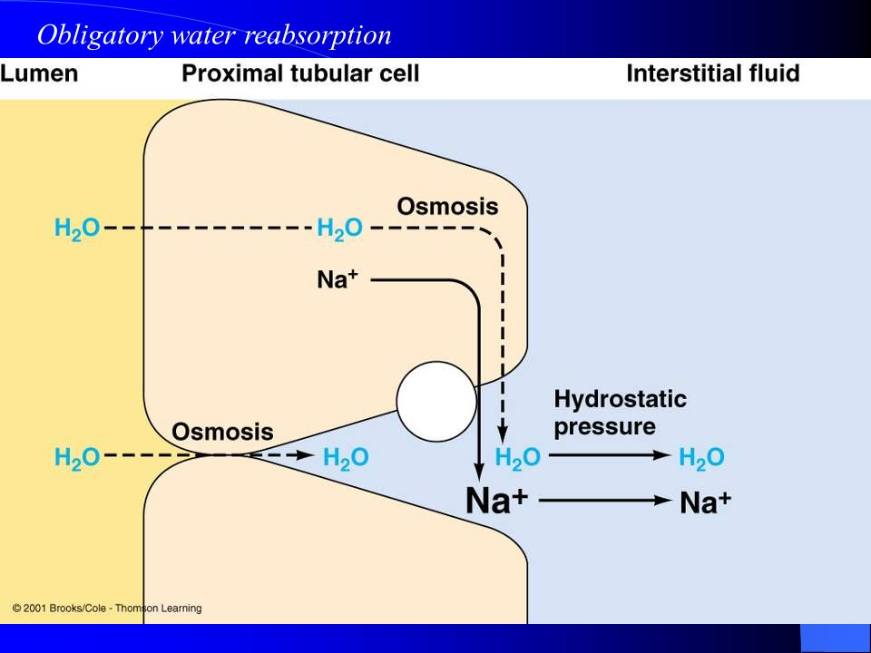 Obligatory water reabsorption