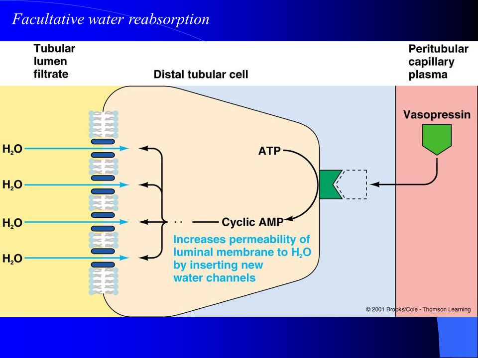 Facultative water reabsorption
