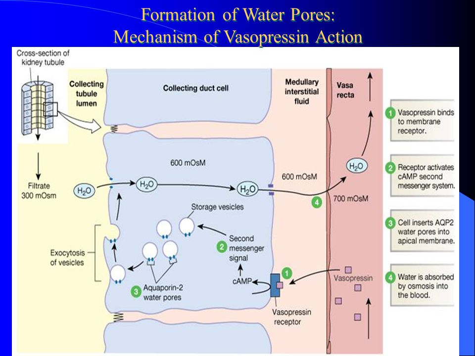 Formation of Water Pores: Mechanism of Vasopressin Action