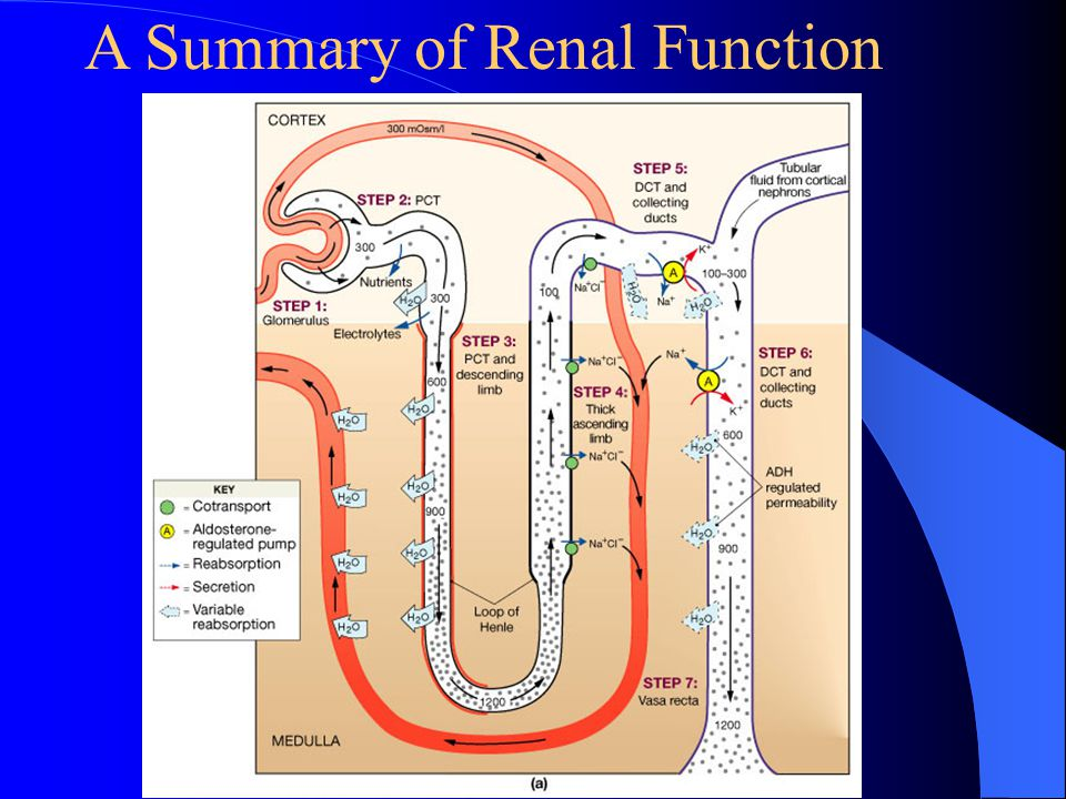 A Summary of Renal Function