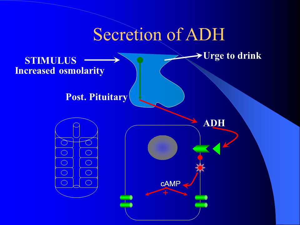 Secretion of ADH Urge to drink STIMULUS Increased osmolarity