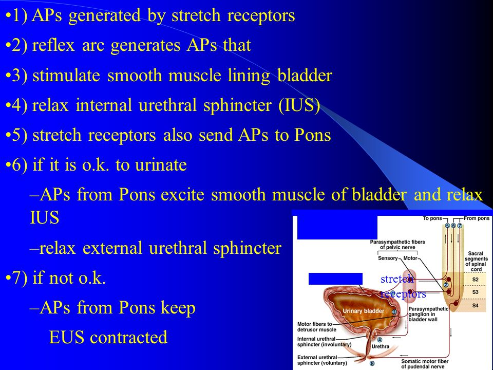 1) APs generated by stretch receptors 2) reflex arc generates APs that