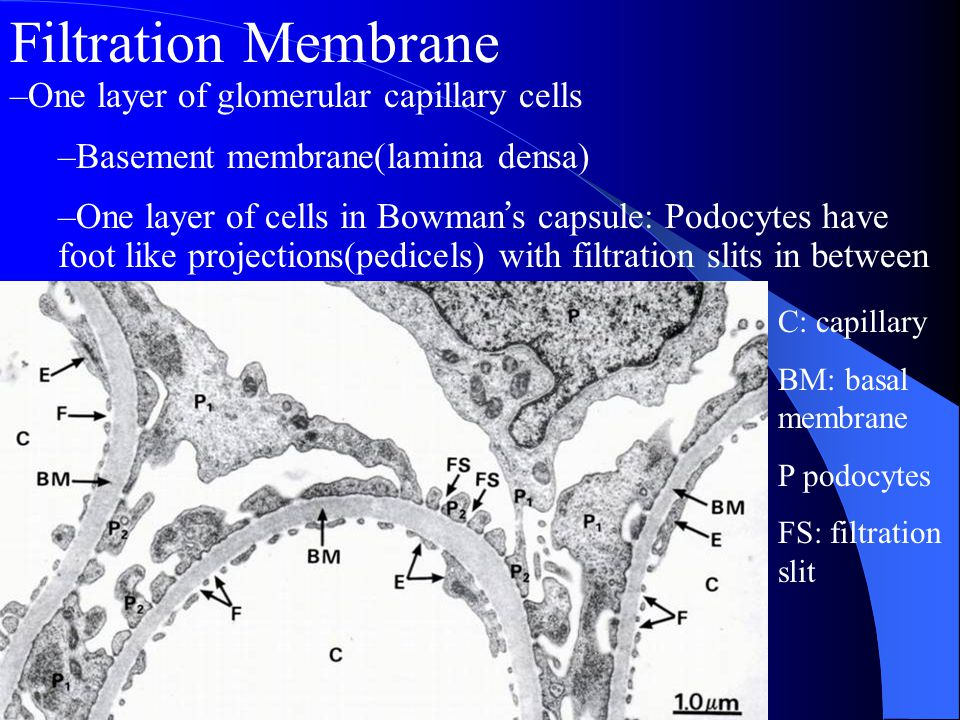 Filtration Membrane One layer of glomerular capillary cells