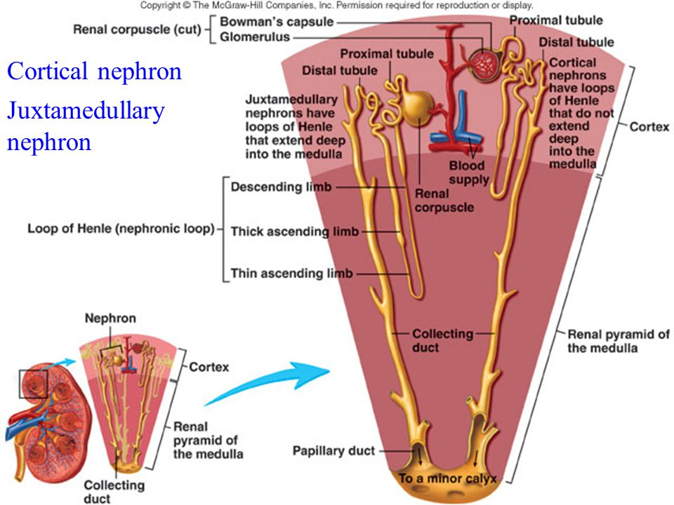 Cortical nephron Juxtamedullary nephron