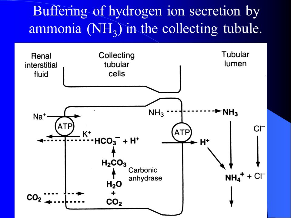 Buffering of hydrogen ion secretion by ammonia (NH3) in the collecting tubule.