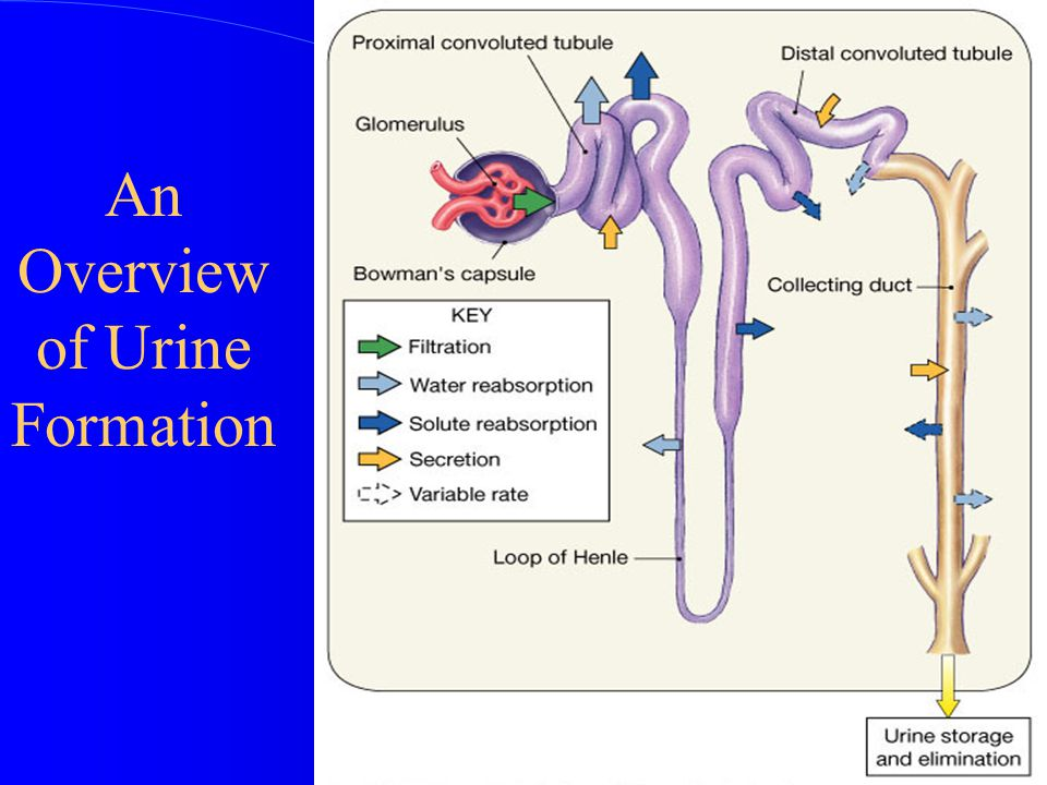 An Overview of Urine Formation