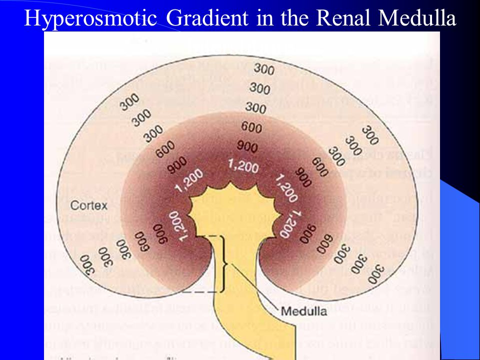Hyperosmotic Gradient in the Renal Medulla Interstitium