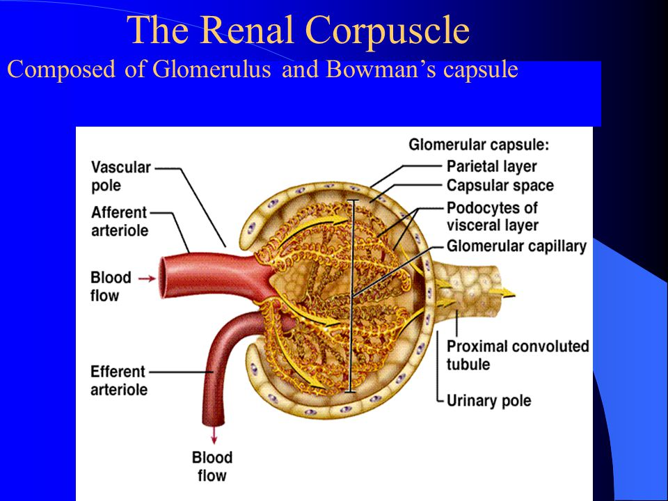 Renal Capsule Chapter 8 Excretion of...