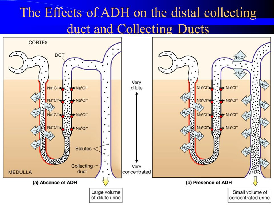 The Effects of ADH on the distal collecting duct and Collecting Ducts