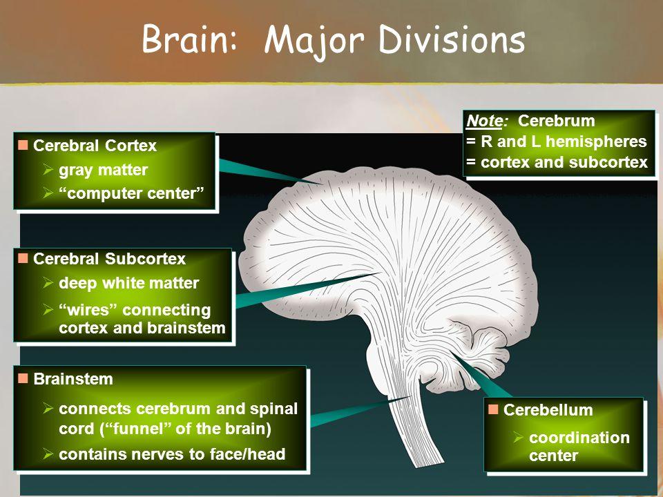Brain: Major Divisions