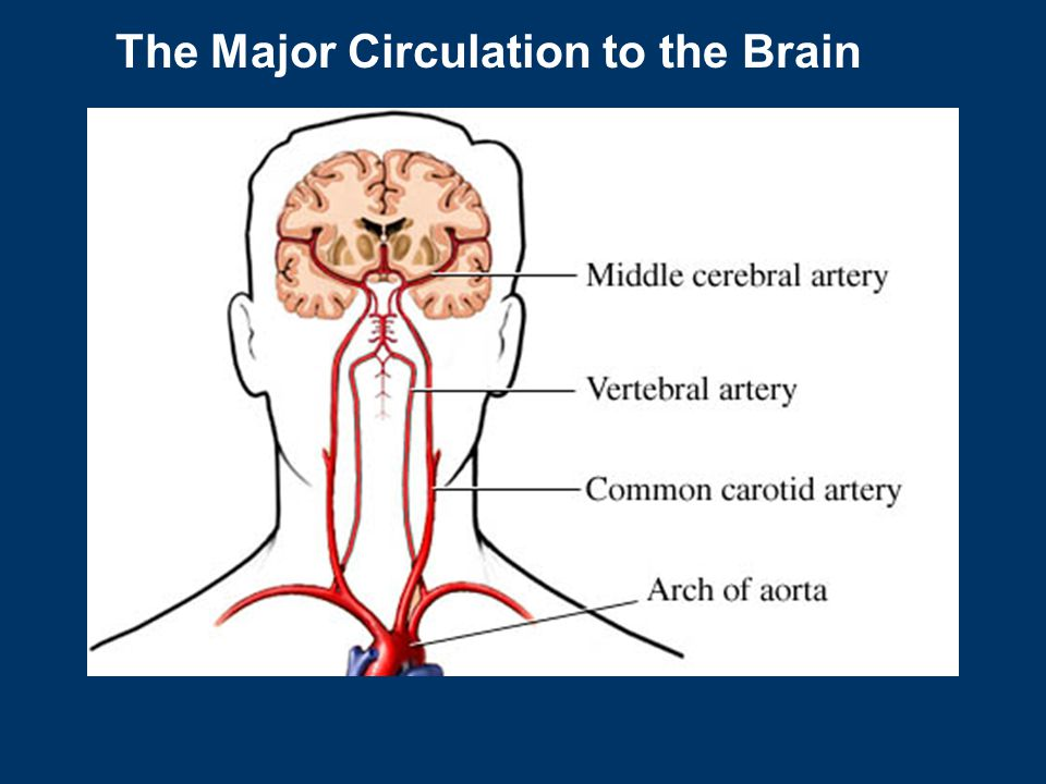 The Major Circulation to the Brain