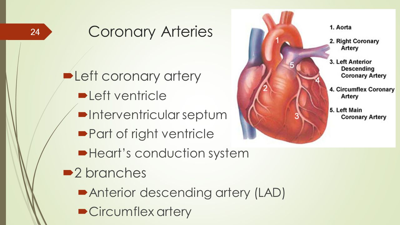 Coronary Arteries Left coronary artery 2 branches Left ventricle