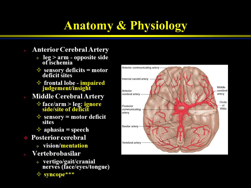 Anatomy & Physiology Posterior cerebral