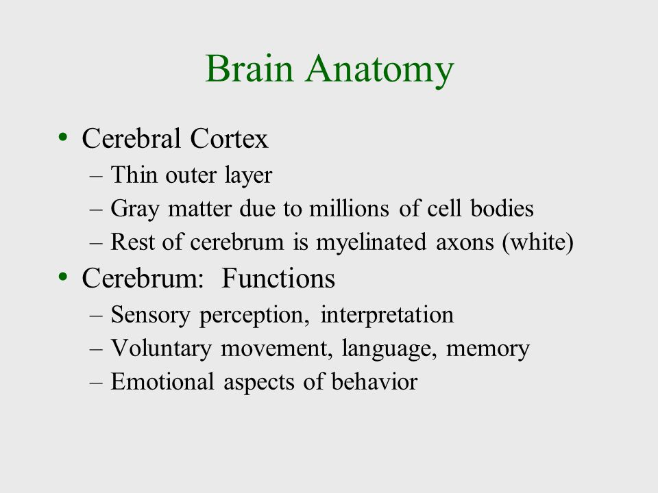 Brain Anatomy Cerebral Cortex Cerebrum: Functions Thin outer layer