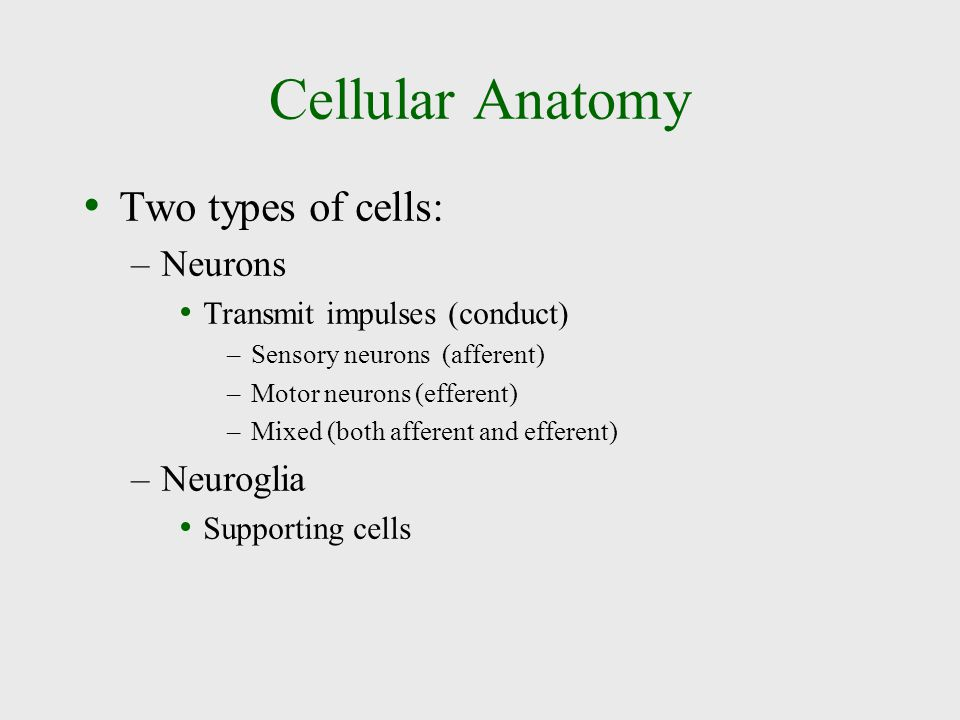 Cellular Anatomy Two types of cells: Neurons Neuroglia