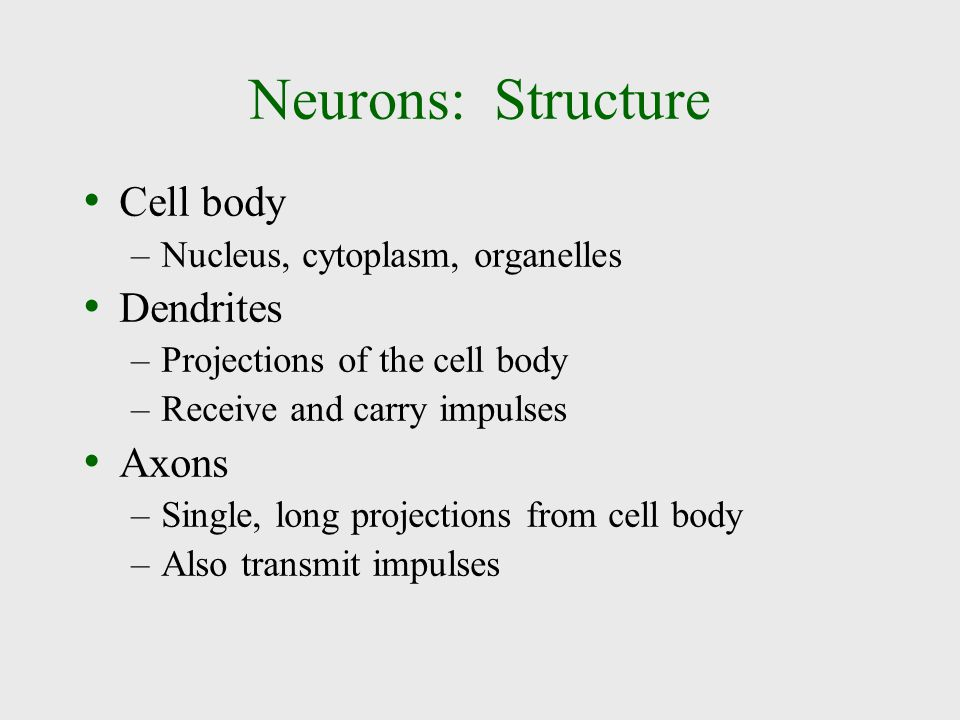 Neurons: Structure Cell body Dendrites Axons