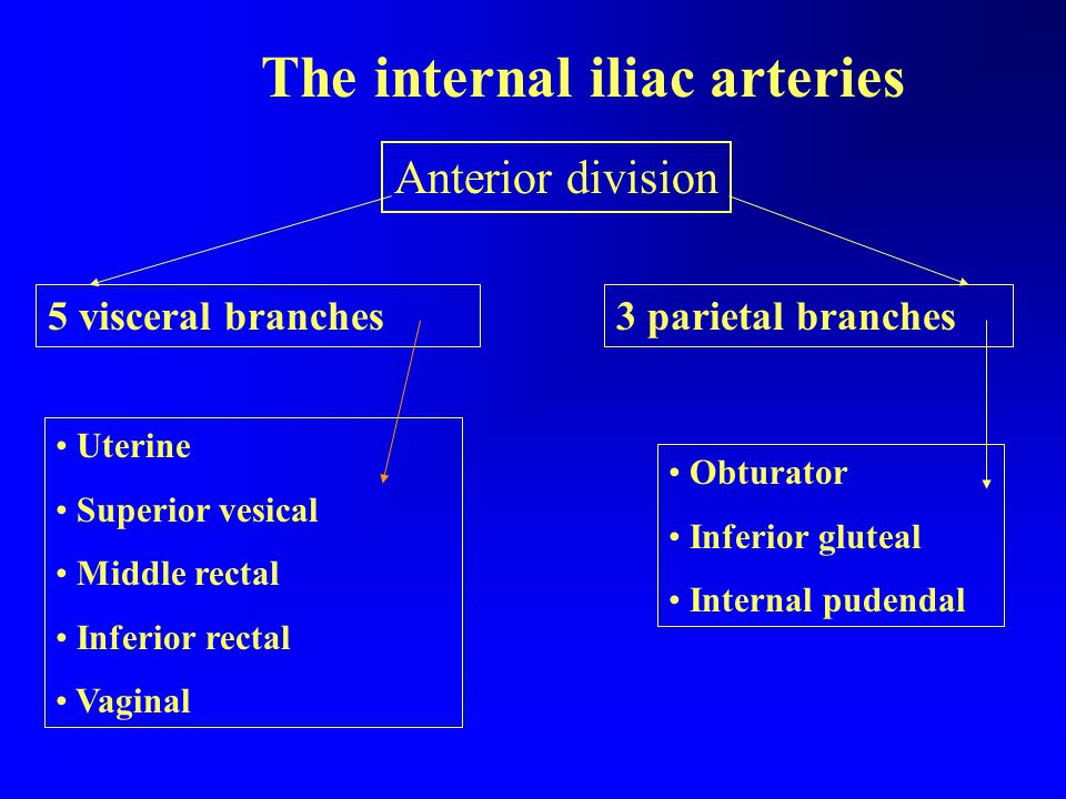 The internal iliac arteries