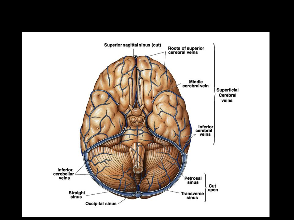 Venous Blood flow from the Brain