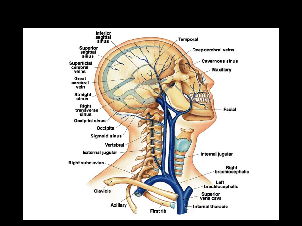 Major Veins of the Head and neck Region