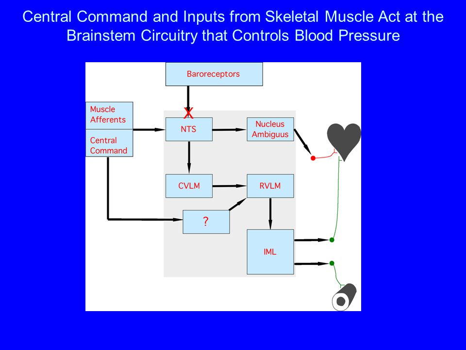 Central Command and Inputs from Skeletal Muscle Act at the Brainstem Circuitry that Controls Blood Pressure