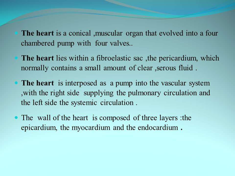 The heart is a conical ,muscular organ that evolved into a four chambered pump with four valves..