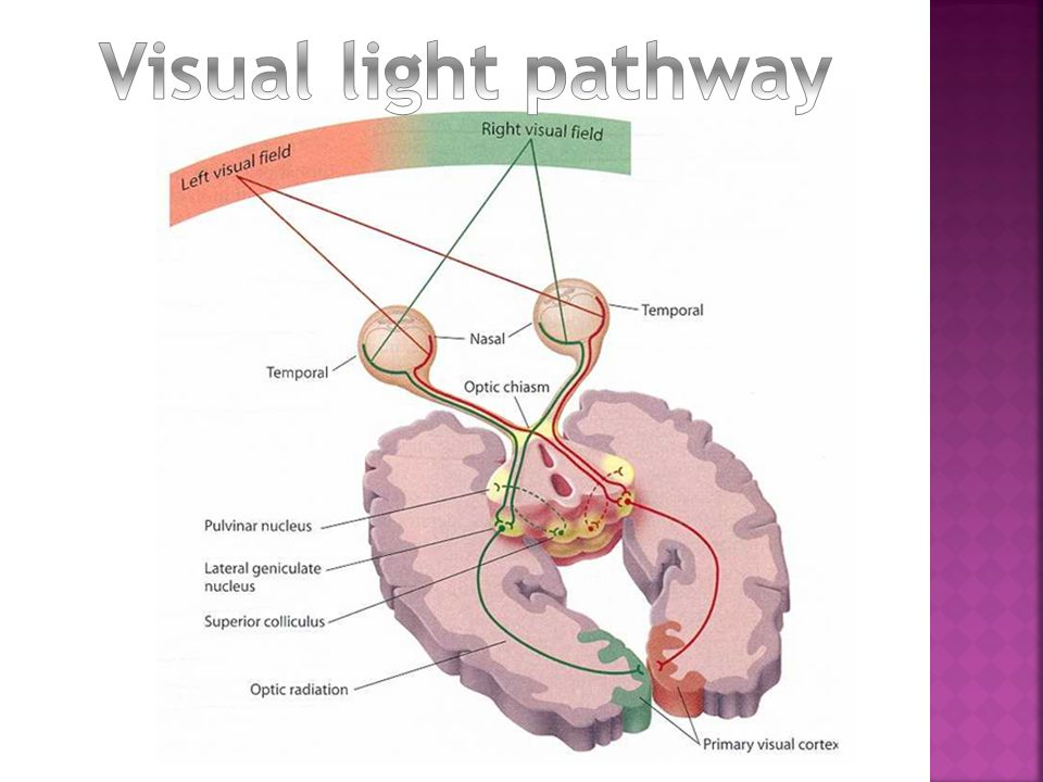 Visual light pathway