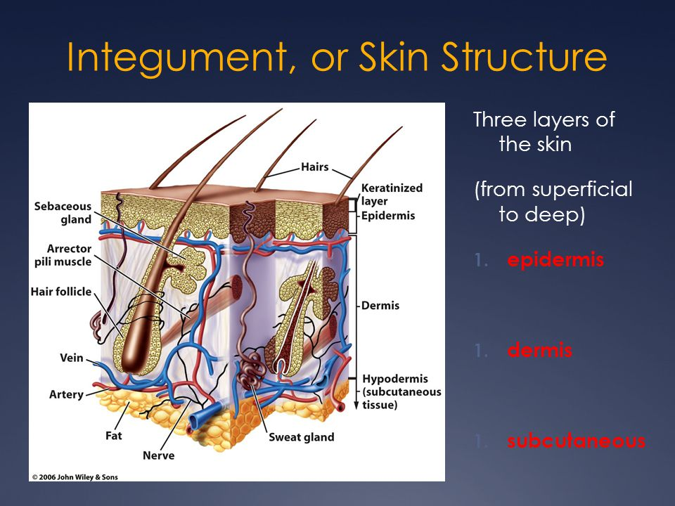 Integument, or Skin Structure