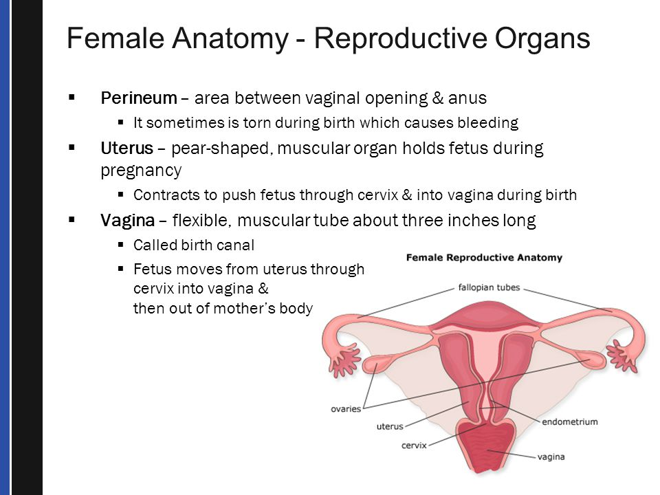 Female Anatomy - Reproductive Organs