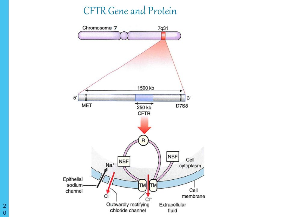 CFTR Gene and Protein Cystic Fibrosis Transmembrane Conductance Regulator Protein