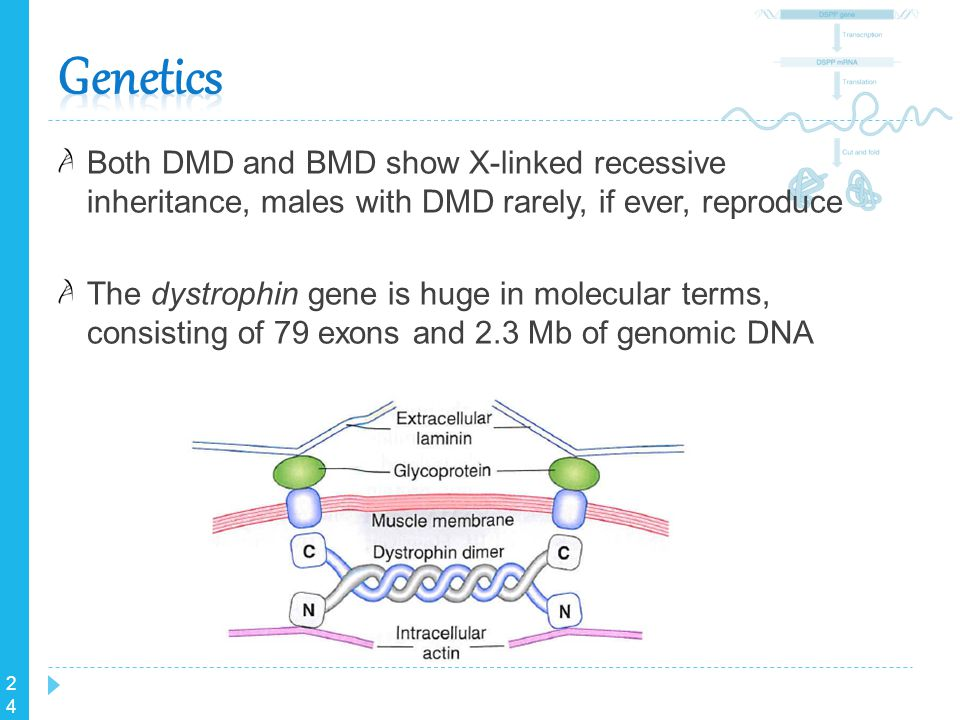 Genetics Both DMD and BMD show X-linked recessive inheritance, males with DMD rarely, if ever, reproduce.
