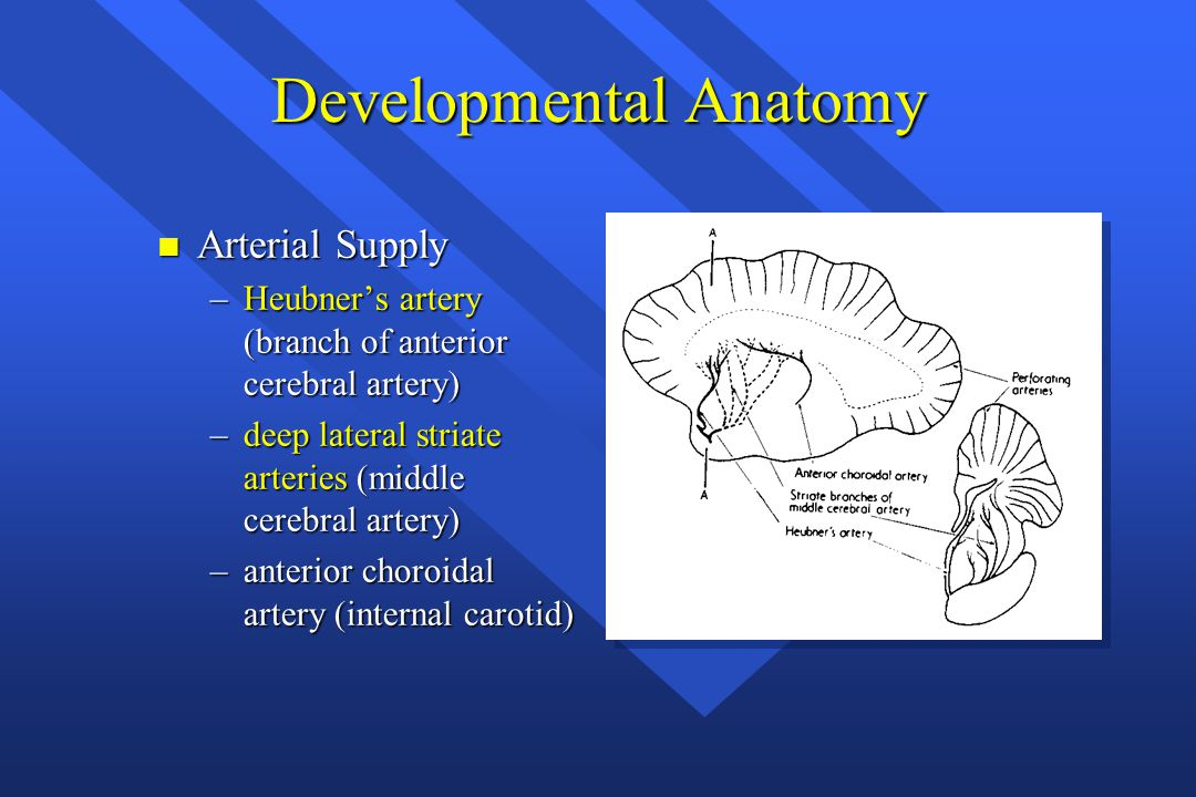 Developmental Anatomy