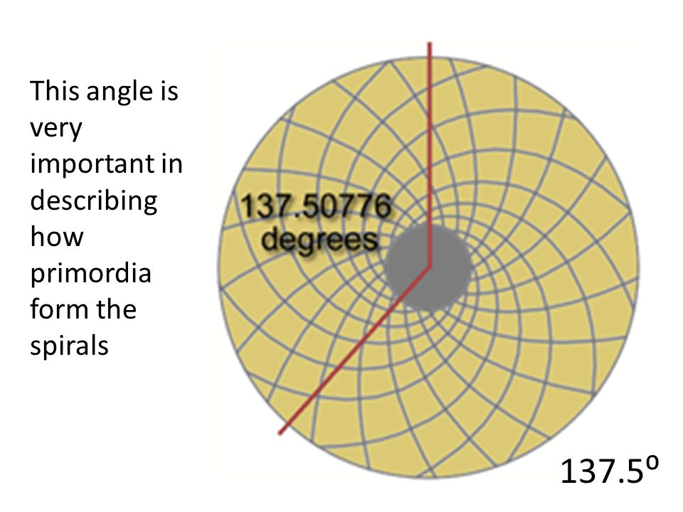This angle is very important in describing how primordia form the spirals
