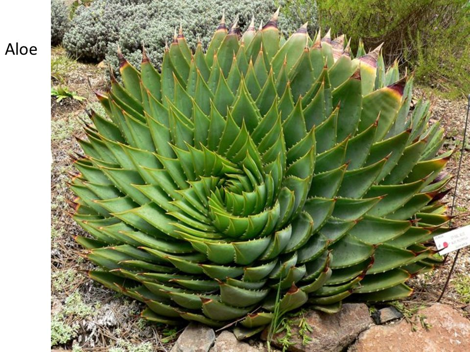 Aloe Phyllotaxis – pattern of leaves on a plant