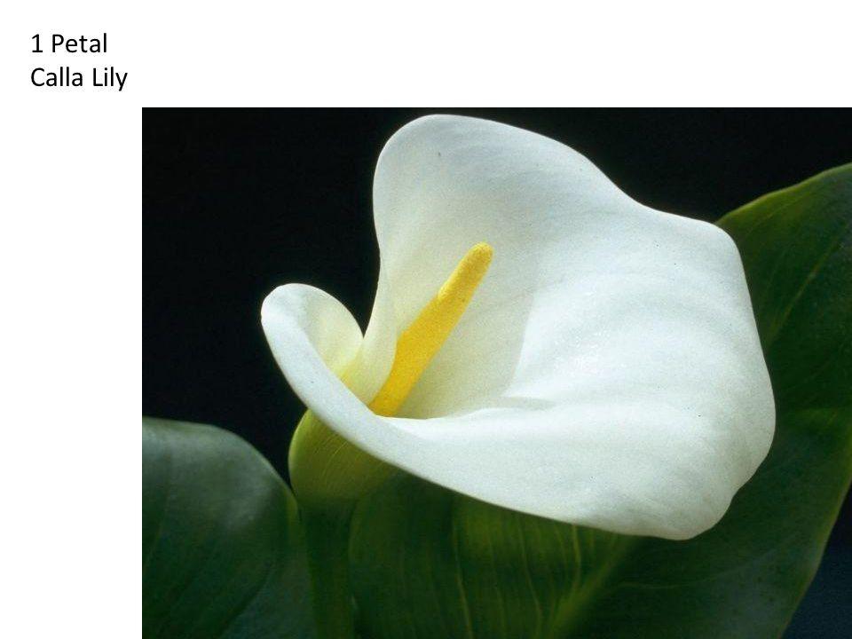 1 Petal Calla Lily http://britton.disted.camosun.bc.ca/fibslide/jbfibslide.htm