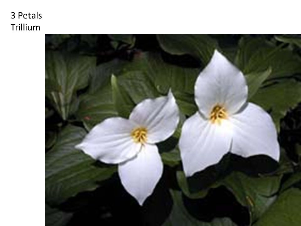 3 Petals Trillium http://britton.disted.camosun.bc.ca/fibslide/jbfibslide.htm