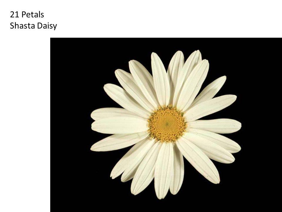 21 Petals Shasta Daisy. http://britton.disted.camosun.bc.ca/fibslide/jbfibslide.htm.