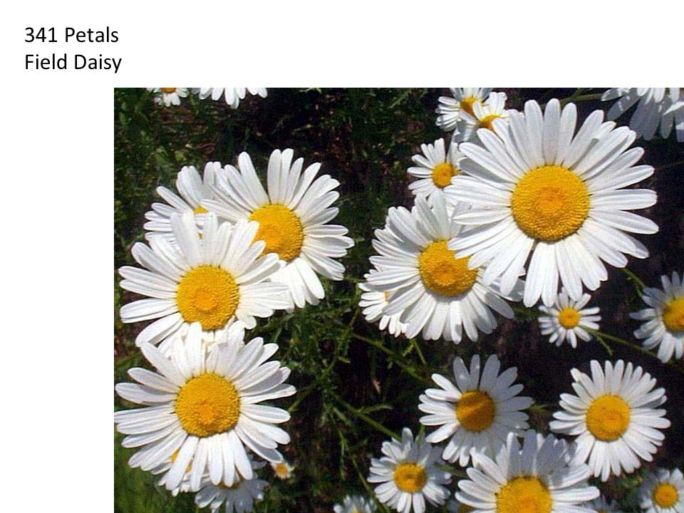 341 Petals Field Daisy.