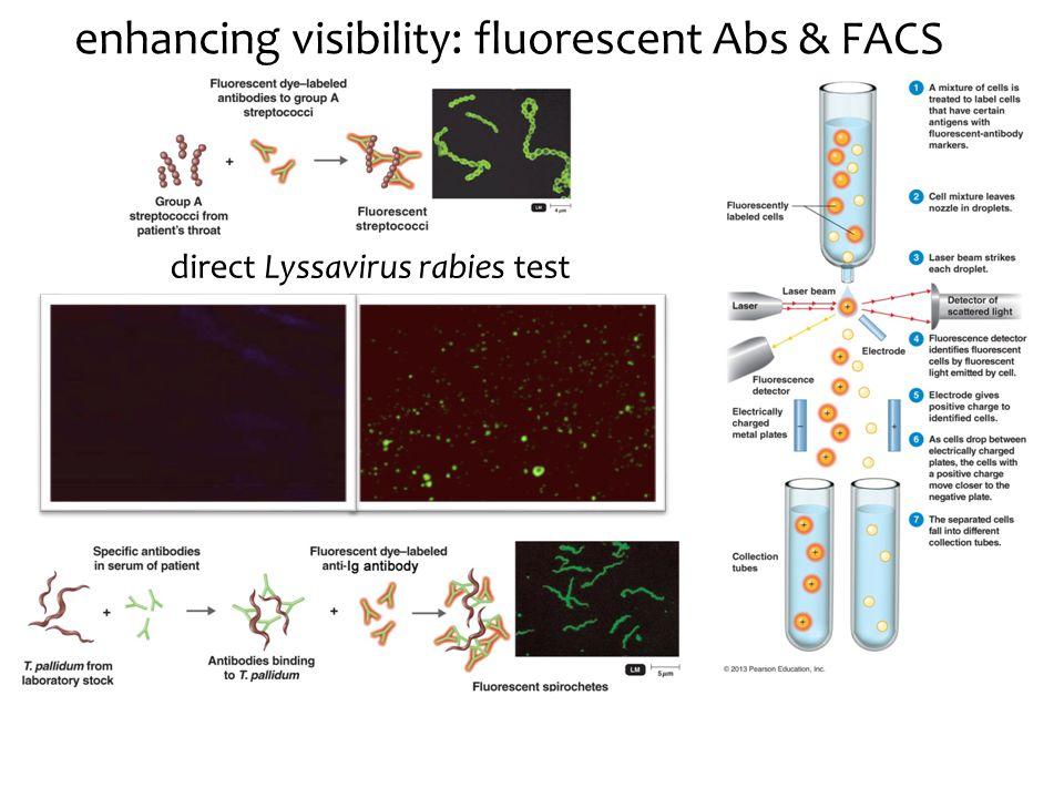 enhancing visibility: fluorescent Abs & FACS